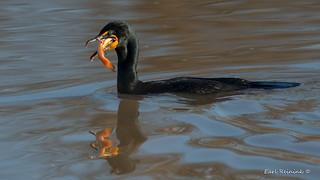 Cormorant eats catfish