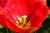 Tulip (Mike.Dales) Tags: tulip macro canon50mmf18stm extensiontube kooka yorkshire england spring
