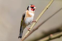 Goldfinch (Linda Martin Photography) Tags: male wildlife nature hampshire cardueliscarduelis birds goldfinch uk blashfordlakes alittlebeauty coth5 specanimal ngc npc