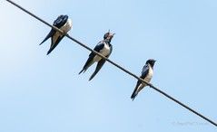 _DSC4989 (AngelPixCn) Tags: angepixcn birds farm feathers hennopsriver nikond7100 southafrica tree wildlife wings centurion gauteng za