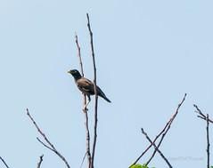 _DSC4978 (AngelPixCn) Tags: angepixcn birds farm feathers hennopsriver nikond7100 southafrica tree wildlife wings centurion gauteng za