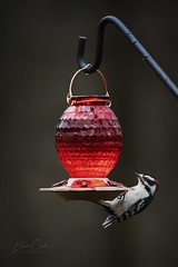 Downy Woodpecker (NYRBlue94) Tags: woodpecker black white red fly small water fast spots downy