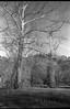 two trees with white limbs, Biltmore Estate, Asheville, North Carolina, Olympus XA4, Kodak TMAX 400, Ilford Ilfosol 3 developer, mid April 2018 (steve aimone) Tags: trees limbs whitelimbs landscape biltmore biltmoreestate asheville northcarolina olympusxa4 aristaedu200 ilfordilfosol3developer 35mm 35mmfilm film compactcamera blackandwhite monochrome monochromatic