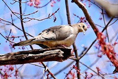 Mourning Dove (Anne Ahearne) Tags: wild bird animal nature wildlife mourningdove dove maple tree blossoms