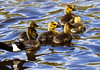 Water & Air. 2 of the 4 elements. (ashhayling) Tags: ducks duckling canadian goose mill lakes bestwood country park derbyshire nottinghamshire nottingham water breeze babies cute