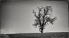 Let's survive... (New Views VIII) (Ody on the mount) Tags: anlässe bäume em5ii felder landschaft mzuiko918 omd olympus pflanzen rahmen schwäbischealb wanderung bw landscape monochrome sw sepia tree