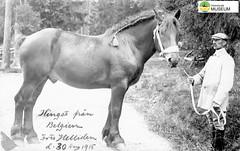 tm_7755 - Hingst från Belgien 1915 (Tidaholms Museum) Tags: svartvit positiv häst människa porträtt belgien hingst 1915