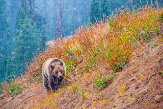 Grizzly in snowstorm