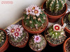 Echinocactus texensis flowers (Nyxtofulakas) Tags: echinocactus texensis flowers bloom nature spines cactus succulent plant cultivar mexico cactaceae