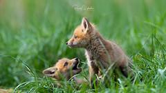 Red Fox - Vulpes vulpes | 2018 - 13 (RGL_Photography) Tags: carnivora fox gardenstate jerseyshore kits monmouthcounty mothernature newjersey nikonafs600mmf4gedvr nikond500 redfox us unitedstates vulpesvulpes wildkingdom wildlife wildlifephotography