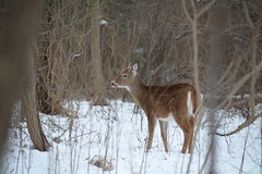 WhiteTail deer (Amore_Photography) Tags: deer whitetail whitetaildeer wild wildlife wilderness wildlifephotography animal animals animalove nikon pictures explore outdoors woods trees spring winter shed family herd newyork statenisland walk photography picture