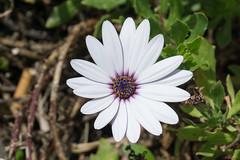 Fleur, Ponta Delgada, Açores, Portugal - 5927 (rivai56) Tags: pontadelgada açores portugal sonya6000 azore pt