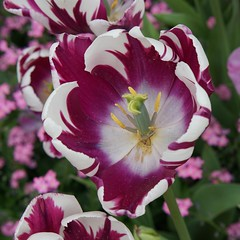 purple and white - explored (quietpurplehaze07) Tags: 7dwffridaysflora tulip purple white macro