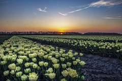 A journey full of tulips (revisited) (Wim van de Meerendonk, loving nature) Tags: flower flowers tulips tulip flevoland noordoostpolder color colors colours colour sony sky sun sunset landscape light netherlands nederland outdoors outdoor orange panorama spring thenetherlands wimvandem golddragon