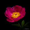 Peony (Magda Banach) Tags: canon canon80d peony sigma150mmf28apomacrodghsm blackbackground colors flora flower macro nature pink plants spring yellow