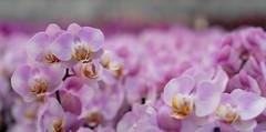 Work :) (www.mroosfotografie.nl) Tags: phalaenopsis vlinderorchidee work flowers wwwmroosfotografienl greenhouse