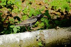 Starling (Jurek.P) Tags: birds bird szpak starling hunting spring ptaki ptak jurekp sonya77