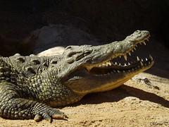 Cocodrilo del Nilo (MarisaTárraga) Tags: españa spain valencia bioparc zoo cocodrilo animal crocodile naturaleza nature fujifilmsl300 macro cuevakitum