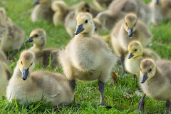 Stocky little gosling, with gaggle (HoLoJo) Tags: geese goose gosling goslings bird birds animal animals cute fuzzy stocky sturdy broad stumpy adorable babies baby toronto ontario canada canadageese park summer spring life wildlife looking gaggle grass nature light goldenhour