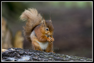 IMG_0069 Red Squirrel