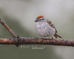 Chipping Sparrow (Bill McDonald 2016) Tags: chippy chipping sparrow billmcdonald wwwtekfxca branch woods perched cute canon grenfellweeblycom