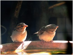 Waiting for Mummy (MaxUndFriedel) Tags: birds sparrows garden sun shadow water waiting mummy hungry basin thirst