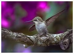 Will you catch me, if i fall (Krasne oci) Tags: bird nature hummingbird trees evabartos artphotography bokeh