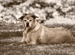 Relaxing on guard (shannon_blueswf) Tags: canine dog pet petphotography petportrait animal nikon nikonphotography nikond7500 monotone outdoors portrait portraitphotography dogphotography