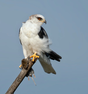 White Tailed Kite with a prey