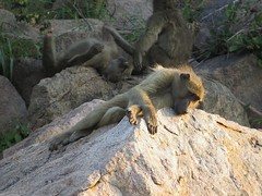 Nobody wants to play with me...(Baboon / Bobbejaan) (Pixi2011) Tags: baboons krugernationalpark wildlife nature africa
