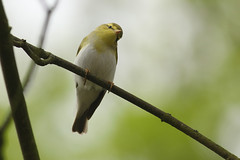 Fluiter - Phylloscopus sibilatrix - Wood Warbler (merijnloeve) Tags: fluiter phylloscopus sibilatrix wood warbler katwijk panbos pan bos van persijn berkheide k xiv zh gemeente meijendel