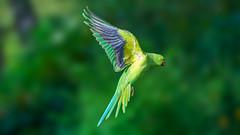 Parakeet (Valentin Laurentziu) Tags: wildlife bird parakeet green flight