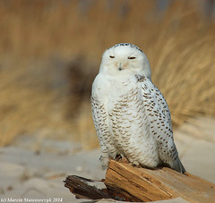A snowy owl (v4vodka) Tags: bird birding birdwatching animal nature wildife owl snowyowl sowa sowka predator raptor buboscandiacus sowasniezna puchaczsniezny nycteascandiaca schneeeule eule 雪鸮