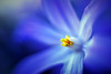 First ones (STTH64) Tags: macro flower bright blue yellow spring 50mm extensiontube