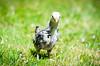 Baby Chickens-26 (sammycj2a) Tags: chick chickens backyardfarm farm chicks pullets straightrun backyard nikon nikkor lightroom