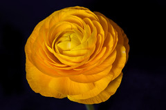 Ravishing Beauty (AnyMotion) Tags: persianbuttercup ranunkel ranunculusasiaticus blossom blüte floral flowers plant pflanze onblack 2018 anymotion nature natur frankfurt vase 6d canoneos6d colours colors farben yellow gelb macro makro makroaufnahmen excellence ngc npc