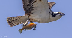 Osprey (TD Cole) Tags: birds birdsofinstagram bird wildlife birdphotography birding wildlifephotography raptor osprey idaho washington trout naturephotography naturephoto naturelovers mothernature nature natureshot