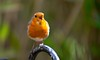 Park Chorus.. (Adam Swaine) Tags: rspb gardenbirds englishbirds britishbirds robinredbreast robin wildlife animals birds spring peckhamryepark uk naturelovers nature naturewatcher beautiful canon seasons londonparks