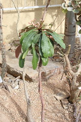 Euphorbia lophogona Lam. - Botanischer Garten München-Nymphenburg (Ruud de Block) Tags: ruuddeblock botanischergartenmünchennymphenburg euphorbiaceae euphorbialophogona euphorbia lophogona