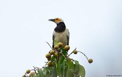 Black-collared Starling (Gracupica nigricollis) (Steve Arena) Tags: blackcollaredstarling starling gracupicanigricollis thailandbirding2017 thailand bird birds birding changmai 2017 nikon d750 nature