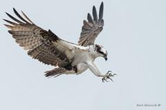 With talons extended (Earl Reinink) Tags: bird wildlike animal flying sky water earl reinink earlreinink osprey aotdhuhdza