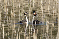 Great Crested Grebe Courtship 1 of 7 (FergalSandra) Tags: greatcrestedgrebe loughneagh dundalk louth ireland courtship birdwatcher