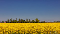 Blue and Yellow (BraCom (Bram)) Tags: 169 bracom bramvanbroekhoven holland nederland netherlands southholland voorneputten zuidholland agriculture barn bloemen bomen farm flowers geel koolzaad landbouw landscape landschap rapeseed schuur sky trees widescreen yellow nl hellevoetsluis