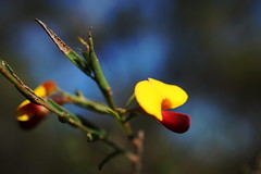 Bossiaea heterophylla (Off on Holidays) Tags: bossiaeaheterophylla yellow australiannativeplant flower