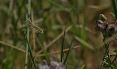 A Case Of The Munchies (harefoot1066) Tags: funastrum funastrumcynanchoides fringedtwinevine climbingmilkweed apocynaceae asclepiadoideae mantodea mantid mantidae mantinae tenodera tenoderasinensis chinesemantis prayingmantis