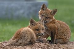 Curious Kits (ThruKurtsLens.com) Tags: 2018 kurtwecker nature naturephotographer photography spring thrukurtslenscom wildlife wildlifephotographer