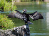 Wing-drying Cormorant (elenaleong) Tags: tokyo18 umiu cormorant tokyopark wingdrying sunbathing elenaleong nature wildlife bird aquaticbird japanesecormorant