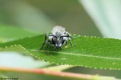 Abeille solitaire non identifiée (fr) - Unidentified solitary bee (en) (patrick68110) Tags: abeille