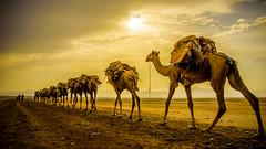 Carabana de sal en el desierto de Danakil, Ethiopia (día 1) (pepoexpress - A few million thanks!) Tags: nikon nikkor d750 nikond75024120f4 nikond750 24120mmafs pepoexpress sunset sunrise sun puestadesol camellos caravana danakil salinasdedanakil afar etniaafar ethiopia abisinia horadorada goldenhour camel camello