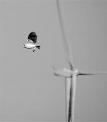 Barn Owl and Wind Turbine - Cresswell (Gilli8888) Tags: northumberland nikon p900 coolpix nature wetlands birds cresswell cresswellponds owl barnowl blackandwhite turbine windturbine birdsinflight countryside